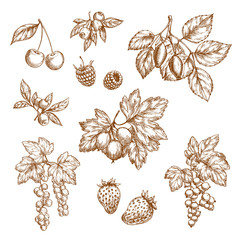 Vector blackberry and blueberry, black currant or redcurrant, cherry and raspberry, strawberry, gooseberry or briar branches. Forest berry fruits sketches