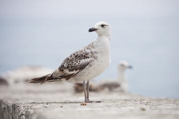 standing sea gull bird