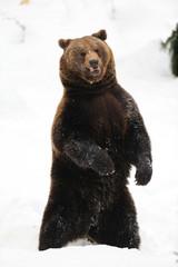 Braunbär steht auf Hinterbeine, guter Überblick, Winter