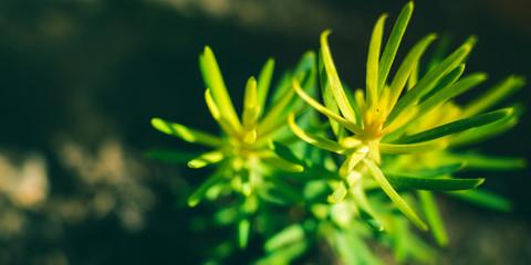 Fototapeta Spruce sprout macro shot growing in pot. Home garden plant obraz