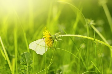 Yellow butterfly sitting on a dandelion in the green grass of spring
