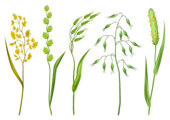 Set of herbs and cereal grass. Floral collection with meadow plants