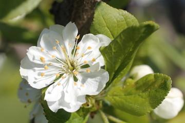 white flowers of apple tree spring
