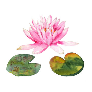 Botanical watercolor illustration of water lilies in the pond on white background