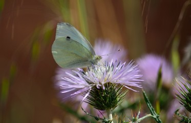 Beautiful white butterfly on wild thistle in full bloom