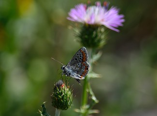 Small butterfly of colors on floral bud of wild thistle