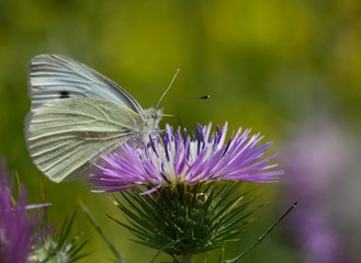 Closeup of beautiful white butterfly on wild thistle
