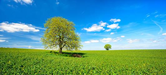 Wall Mural - Landschaft mit zwei Bäumen im Frühling, grünes Feld, blauer Himmel, weiße Wolken