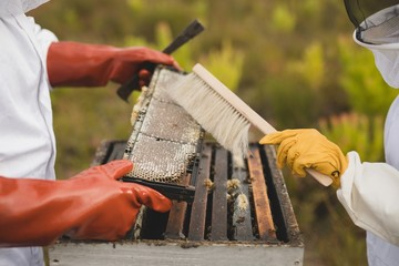 Beekeepers brushing bee from honey frame at apiary
