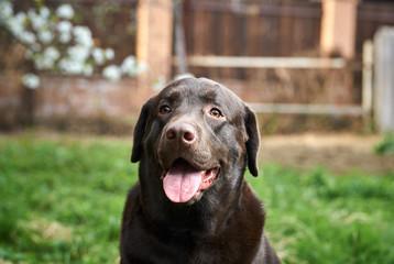 a thoroughbred dog for a walk