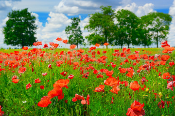 Wall Mural - beautiful red poppies on green field