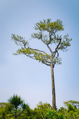 Ancient pine tree in the forest.