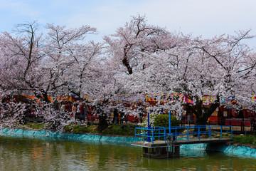長野 須坂 臥竜公園の桜