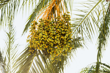 Bunch of unripe dates on the palm tree