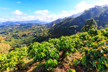 Morning light hits young coffee plants in the coffee triangle near Manizales, Colombia.