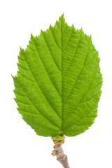 The leaf of hazelnut isolated on a white background
