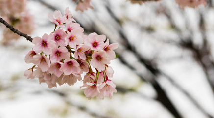 Close - up of Japan Cherry blossom fullbloom in spring season in japan.