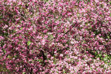 Blooming pink apple tree, background.