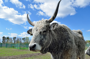 Hungarian gray cow in a pen on a cattle farm.