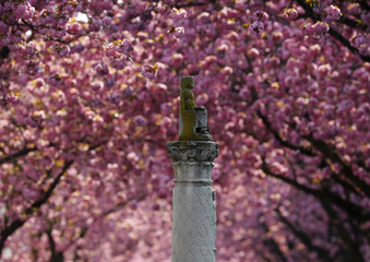 A monument at Heerstrasse is flanked by pink cherry tree blossoms on Cherry Blossom Avenue in downtown Bonn