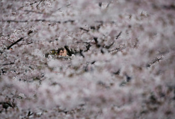Woman takes a picture of cherry blossoms in full bloom in Tokyo
