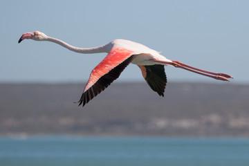 Foto op Canvas Flamingo Flamingo in Flight