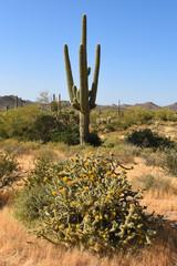 Saguaro und blühender Cholla-Kaktus in der Wüste Arizonas im Lost Dutchman State Park in der Nähe von Phoenix