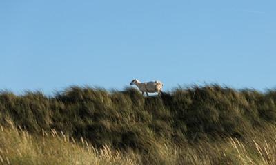 Das Schaf auf der Düne