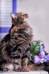 Beautiful fluffy brown striped cat with yellow eyes.