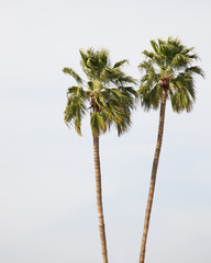 Poster Palmier twin palm trees