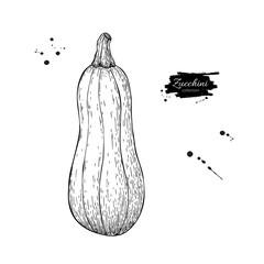 Zucchini hand drawn vector illustration. Isolated Vegetable engraved style object. Detailed vegetarian