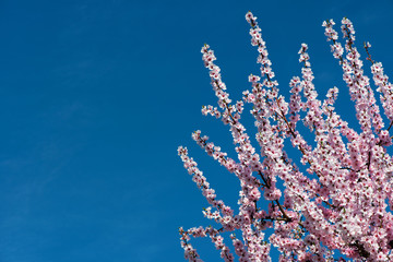Almond blossom tree with many flowering blossoms with blue sky in background. Free space for text.and messages