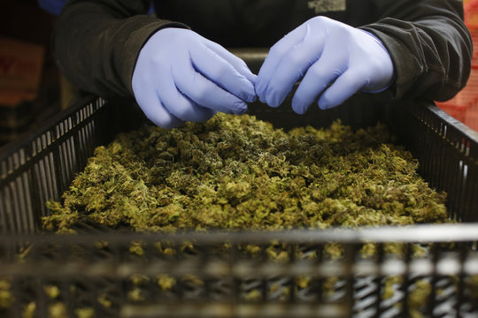 An employee sorts freshly harvested cannabis buds at a medical marijuana plantation in northern Israel