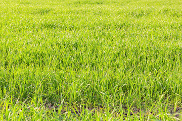 Green shoots of winter wheat in the field