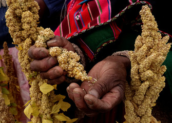 An Aymara woman handles quinoa plants during a promotion of sweet quinoa at the Canaviri district