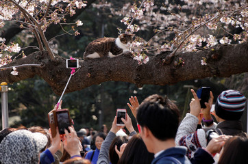 People take pictures of a cat sitting on a cherry blossom tree at a park in Tokyo