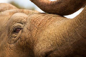 captive Asian Elephant