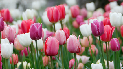 In de dag Tulp Colorful tulips grow and bloom in close proximity to one another.