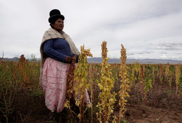 An Aymara woman holds quinoa plants as part of the sweet quinoa promotion at the Canaviri district in La Paz