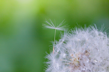 Canvas Prints Dandelions and water Shoot in closeup,fluffy dandelion