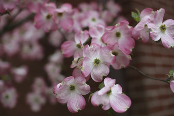 Abstract Pink Dogwood Flowers