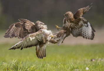 Common buzzard (Buteo buteo) fighting