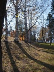 公園の白樺の木