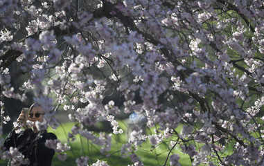 A woman photographs blossom in the spring sunshine in St. James's Park in London, Britain