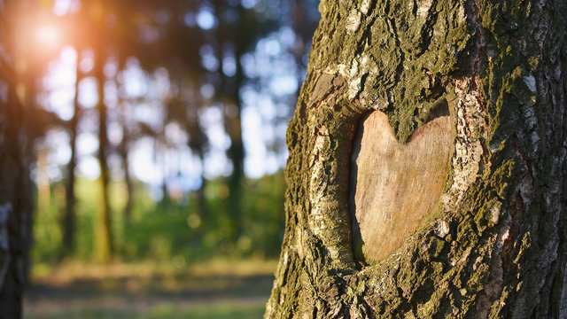 Natural heart formed in the tree trunk in vibrant green forest. Valentine day background. Copy space.