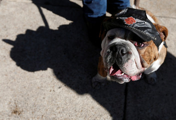 English Bulldogs wearing a leather hat rests after the parade where more than 900 English Bulldog participate to set the Guinness World Records for the largest Bulldog walk in Mexico City