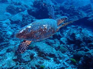 インド洋を泳ぐカメ