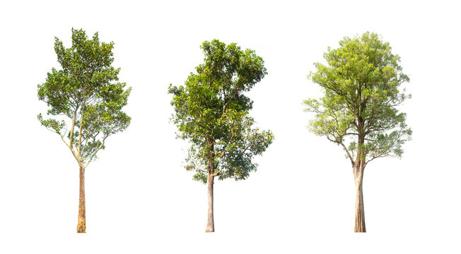 collections green tree isolated. green tree  isolated on white background.
