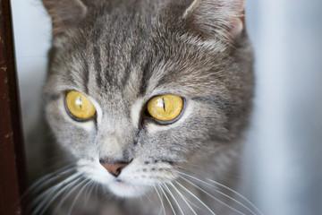 Scottish strite cat