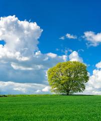 Fototapete - Einzelner Baum, grünes Feld, blauer Himmel, weiße Wolken, Landschaft mit Ahorn im Frühling